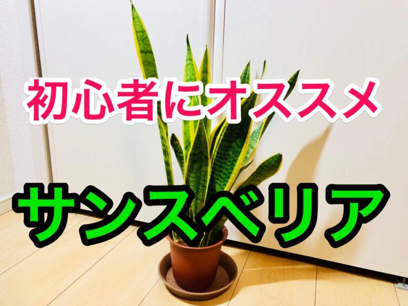 観葉植物初心者にオススメの「サンスベリア」を育ててみた!